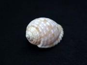 イワカワトキワガイ【約5.5〜6.5cm/1個】貝殻・貝・シェル