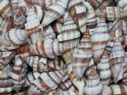 ■メール便可(8袋まで)■オオミノムシガイ【約3.0〜5.0cm/100g】貝殻・貝・シェル