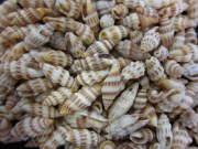 ■メール便可(8袋まで)■小さなミノムシNO.1【約1.5〜2.0cm/100g】貝殻・貝・シェル