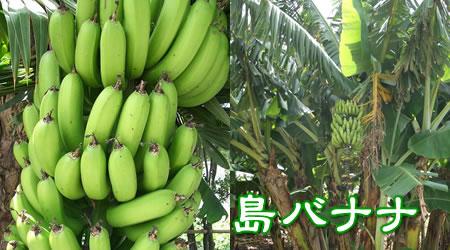 沖縄産 島バナナ