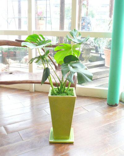 0028インテリア観葉植物ギフト ~疲れを癒すグリーン鉢~ 縁起物・金運UPの植物☆モンステラ☆