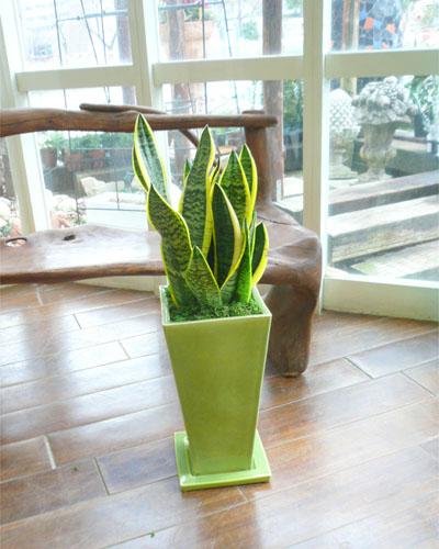 0079インテリア観葉植物ギフト ~疲れを癒すグリーン鉢~ マイナスイオンを放つ☆サンスベリア☆