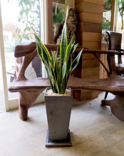 0314観葉植物ギフト サンスベリアとブロンズ鉢