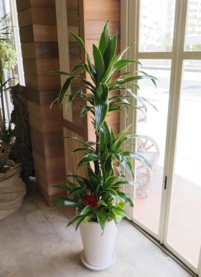 0319観葉植物ギフト ドラセナデレメンシスのホワイト鉢