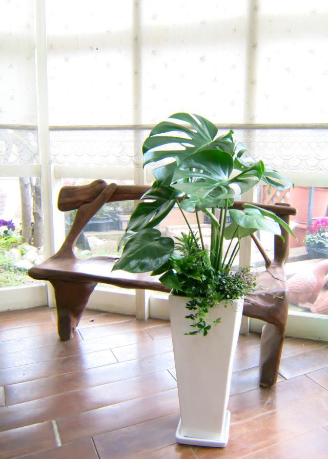 0026インテリア観葉植物ギフト  モンステラ ホワイトロング鉢