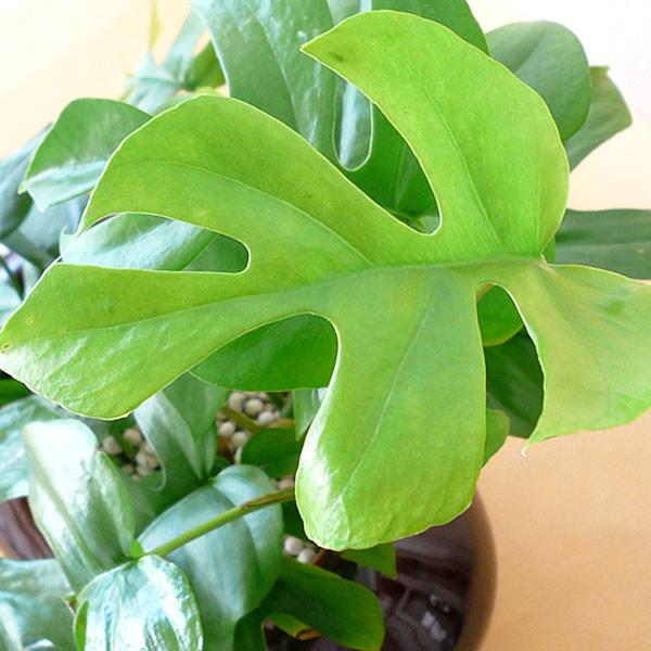 観葉植物ギフト モンステラ