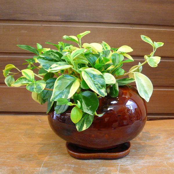 父の日ギフト 観葉植物ギフト ペペロミア