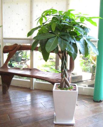 【送料無料でご予算ラクラク】観葉植物ギフト ☆シンプルオシャレなパキラ