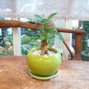 【送料無料】観葉植物ギフト 風水ガジュマル☆やさしい気持にしてくれる~若草色~