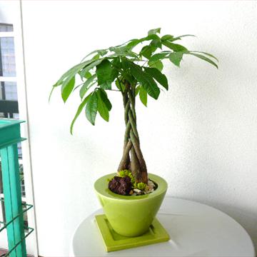 0116【送料無料でご予算ラクラク】観葉植物ギフト 絶妙グリーンのパキラ