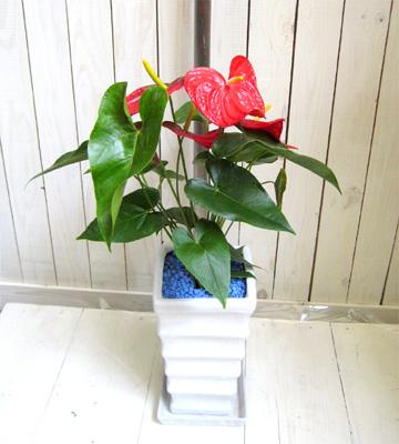0125【送料無料】夏だけのお楽しみ♪移動もラクラク!ちょっとしたプレゼントに~アンスリウム~