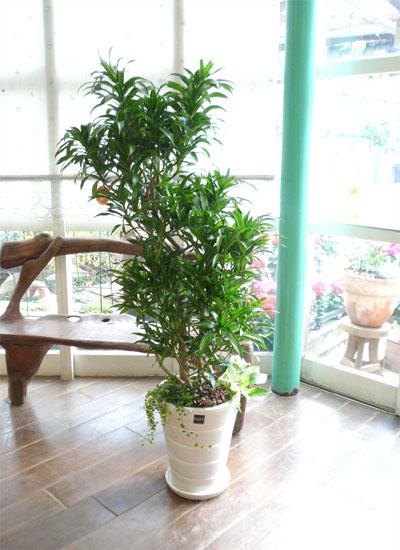 0051観葉植物ギフト ドラセナレキオスのミニ観葉寄せ植え(白鉢)