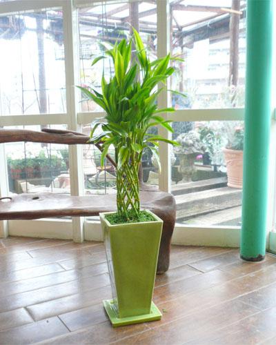 0007インテリア観葉植物ギフト ~疲れを癒すグリーン鉢~ 開運の木☆ミリオンバンブー☆