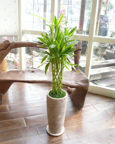 0006インテリア観葉植物ギフト ☆開運の木☆~ミリオンバンブー・ヴィヴィトールサンド~