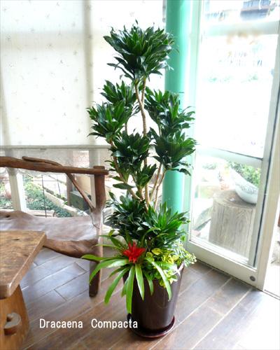 0037観葉植物ギフト コンパクターの渋茶鉢ミニ観葉寄せ植え