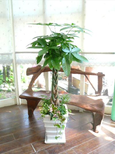 0111観葉植物ギフト パキラ ホワイトスクエア鉢の華やかな寄せ植え