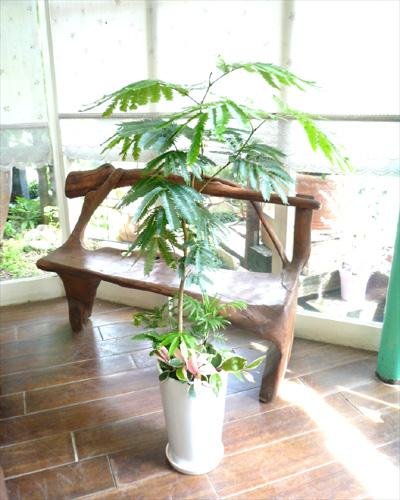 0036インテリア観葉植物ギフト ~お日様大好きエバーフレッシュ~ミニ観葉アレンジ