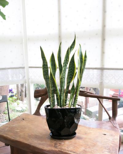 インテリア観葉植物ギフト  サンスベリア ブラックダイヤ鉢