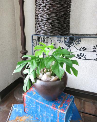 0152インテリア観葉植物ギフト  ~和ジアン姫モンステラ~