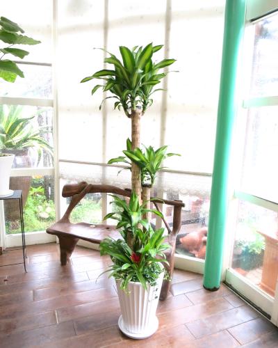 0122観葉植物ギフト 心からのお祝い★幸福の木★