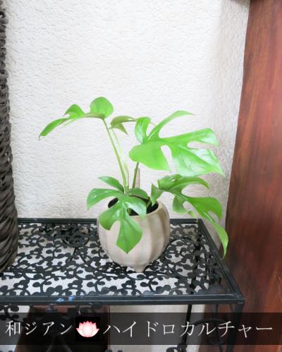 0061インテリア観葉植物ギフト  ~和ジアン ハイドロカルチャー姫モンステラ三つ足鉢~