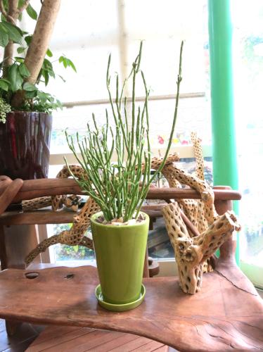 0214観葉植物ギフト ユーフォルビア フォスフォレア