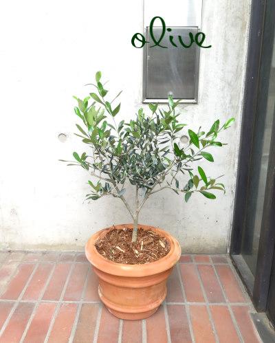 0203屋外用ガーデンギフト  オリーブのシンプルテラコッタ鉢