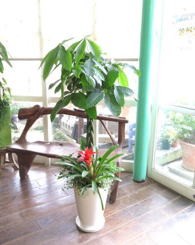 0107観葉植物ギフト パキラと真っ赤なグズマニア