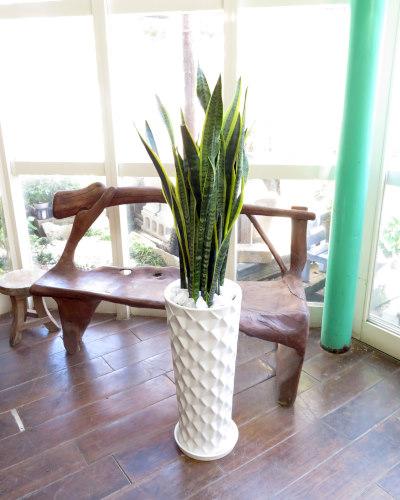 観葉植物ギフト サンスベリアとダイヤホワイト鉢
