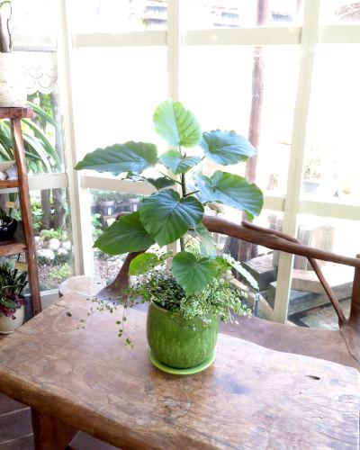 0201観葉植物ギフト ウンベラータとステラグリーン鉢
