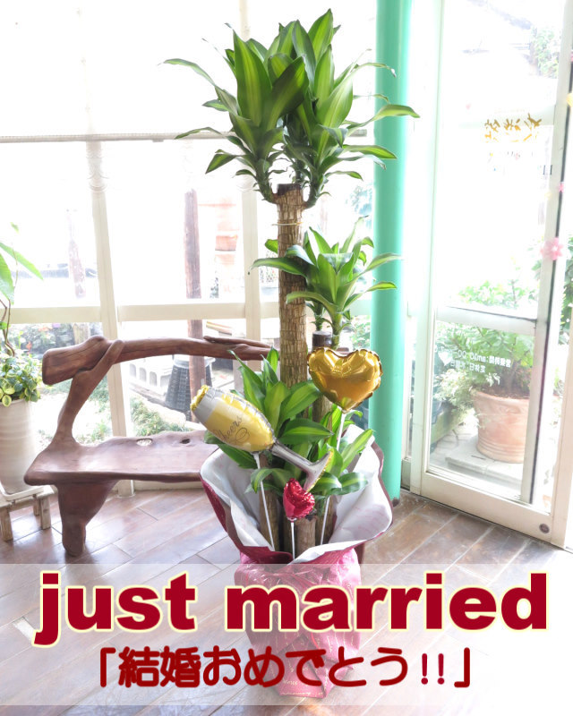 観葉植物ギフト 結婚お祝いにぴったり!幸福の木とバルーン