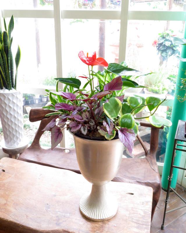 0197観葉植物ギフト アジアンリゾートの風が吹く カラーリーフのシルバーカップ