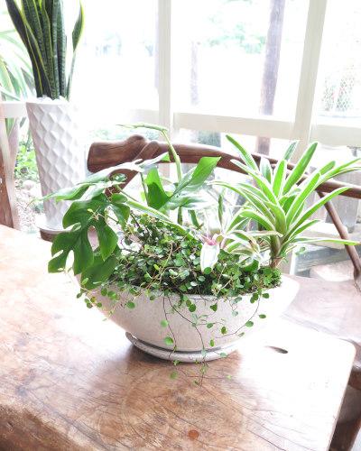 インテリア観葉植物ギフト  モンステラとファイヤーボールの舟形鉢