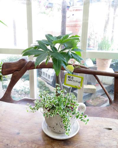 インテリア観葉植物ギフト  パキラとコーヒーカップ★手書きメッセージで心伝わる贈り物