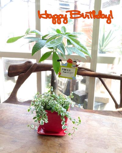 インテリア観葉植物ギフト  ハッピーバースデー★パキラとレッドポット★手書きメッセージで心伝わる贈り物