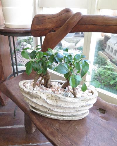 0016インテリア観葉植物ギフト  ペアガジュマル・ディープシー