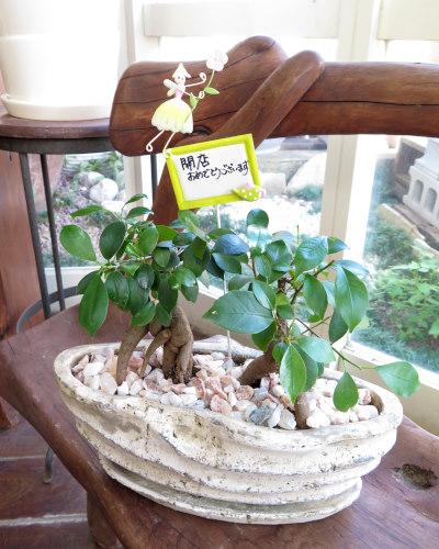 インテリア観葉植物ギフト  ペアガジュマル★手書きメッセージで心伝わる贈り物