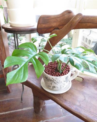 インテリア観葉植物ギフト  モンステラとコーヒーカップ