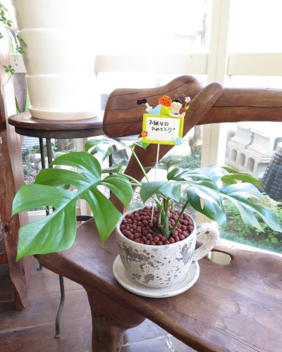 インテリア観葉植物ギフト  モンステラとコーヒーカップ★手書きメッセージで心伝わる贈り物