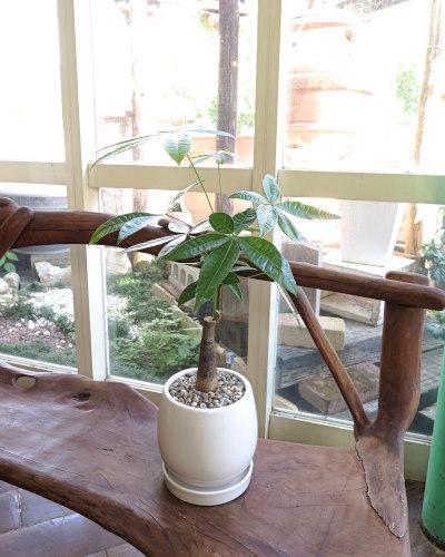 インテリア観葉植物ギフト  パキラと白鉢貝殻バージョン