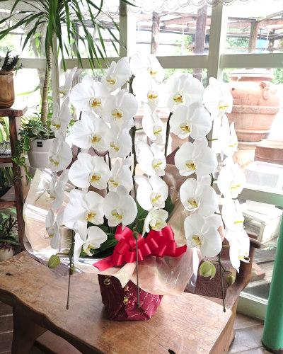 【送料無料】最高級コチョウラン大輪3本立ち(白花)お祝い用ラッピング