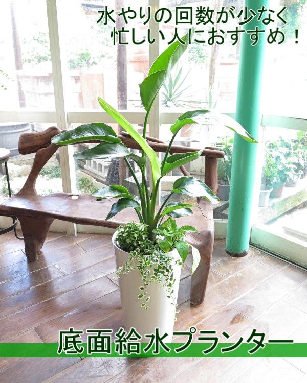0181水やり楽々!底面給水でローメンテナンス観葉植物ギフト(VOGUEプランター白)