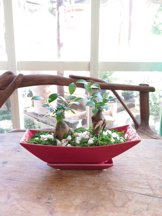 ダブルガジュマルの赤いボート鉢◆観葉植物ギフト