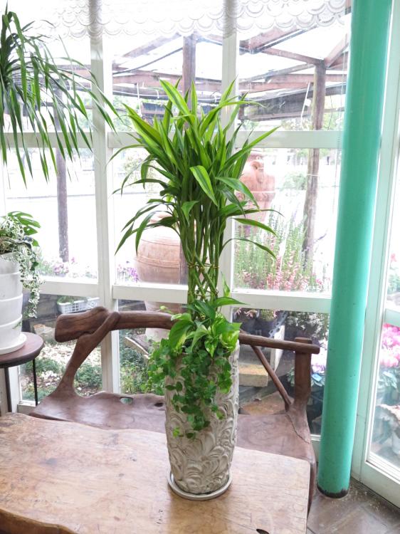 観葉植物ギフト ミリオンバンブーとリーフ柄鉢
