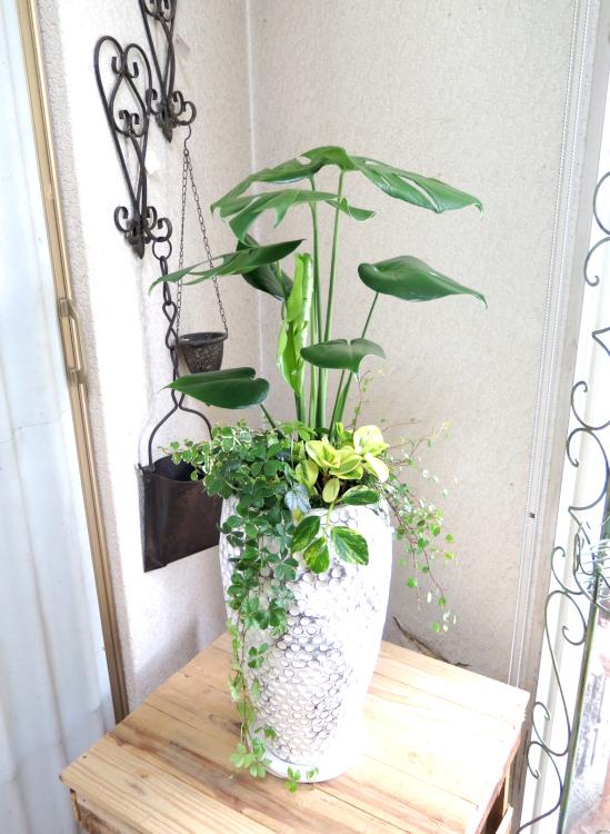 モンステラ ホワイトドット鉢◆観葉植物ギフト