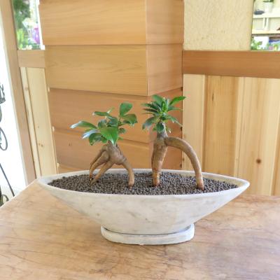 0170インテリア観葉植物ギフト  ダブルガジュマルと舟形鉢