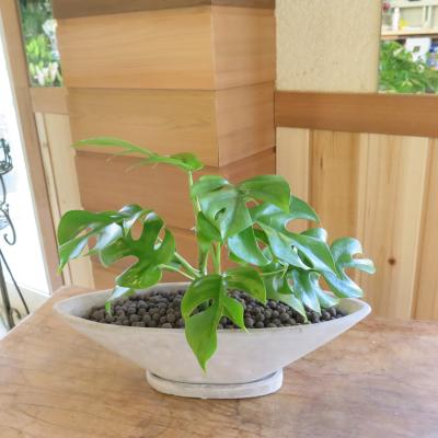 0171インテリア観葉植物ギフト  モンステラと舟形鉢