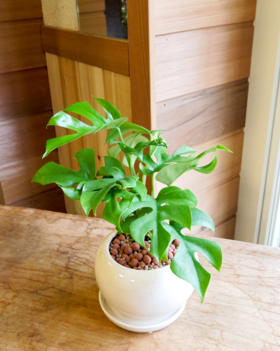 インテリア観葉植物ギフト  姫モンステラとホワイト丸鉢≪商品番号0296≫