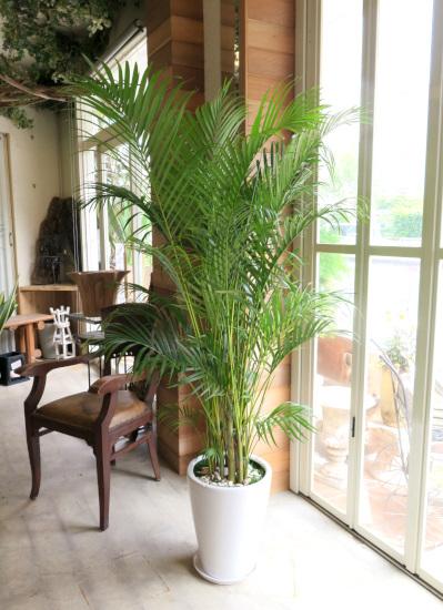030観葉植物ギフト アレカヤシと白鉢(シンプル)
