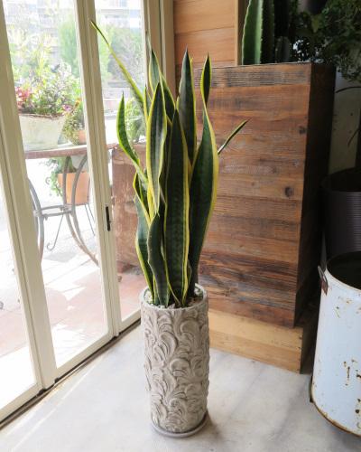 0310観葉植物ギフト サンスベリアとリーフ柄鉢